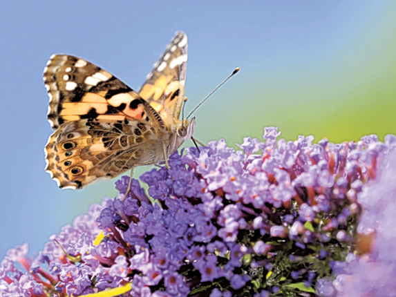 Millions of painted lady butterflies to arrive in UK