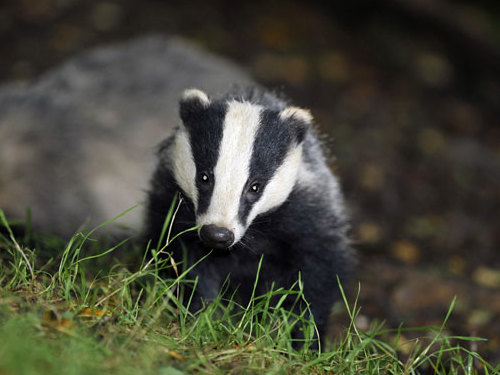 Related video: Shooters target a trapped badger, leaving it to die slowly