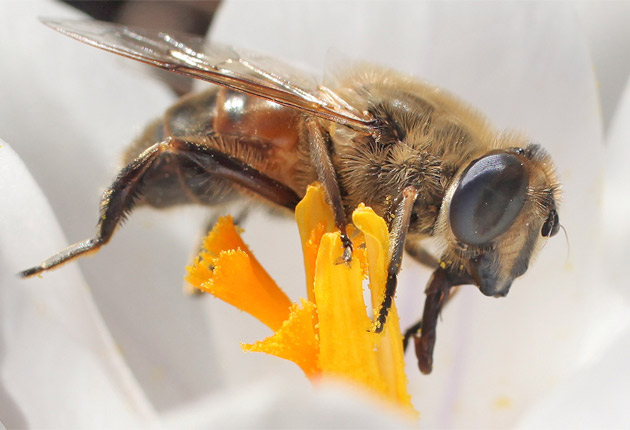 A bee collects pollen from a flower in Kew Gardens