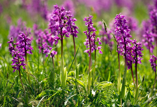 A Spotter S Guide To A Wild Orchid Summer The Independent
