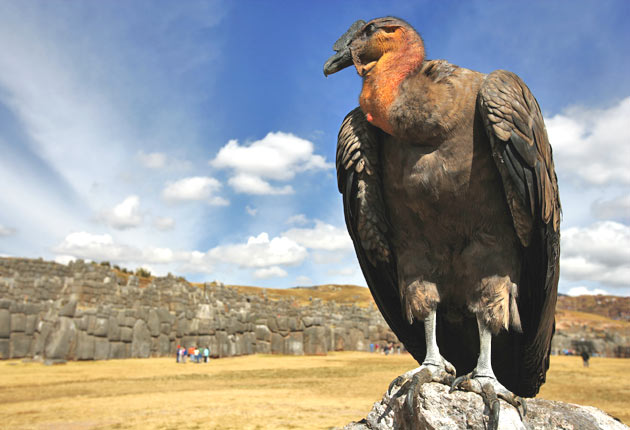 Why The Day Of The Condor Could Be Drawing To A Close The Independent