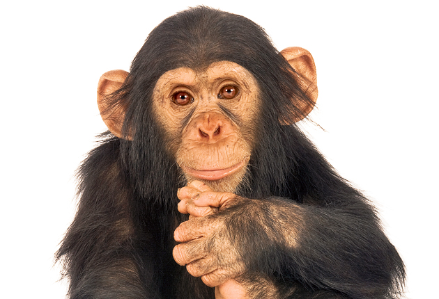 Ape expectations: A young chimpanzee