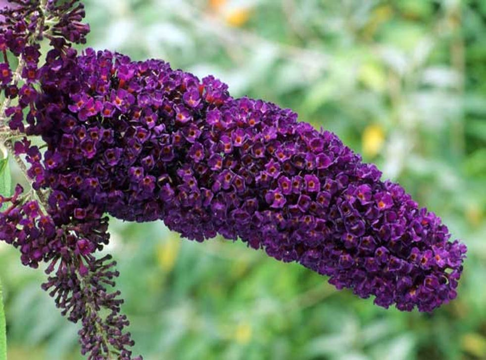 The dark knight: Buddleia davidii - or 'Black Knight' - has a deliciously deep colour, but needs serious pruning