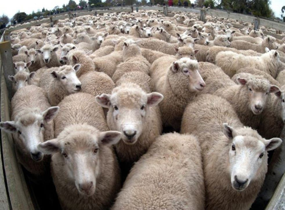 Sheep were first introduced to New Zealand in 1773 by British explorer Captain James Cook and later by missionary Samuel Marsden