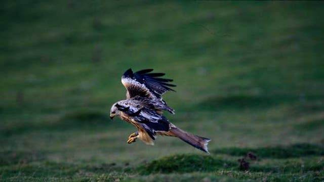 The red kite has been given a helping hand through re-introduction schemes