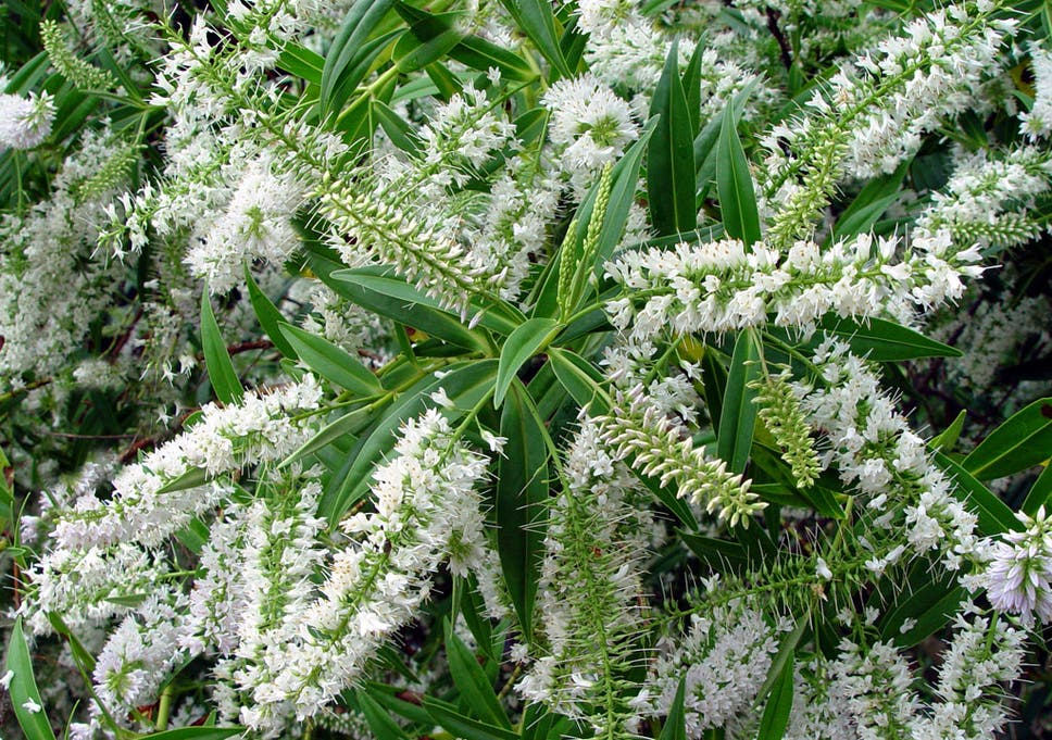 Angel delights sing hallelujah to heavenly hebes the most flowered fingers hebe salicifolia give an elegant display from the moment the weather gets warm mightylinksfo