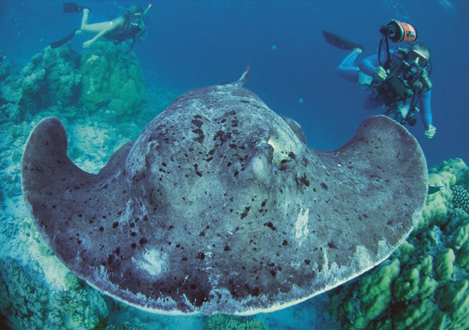 watch a giant stingray make friends with tourists the independent