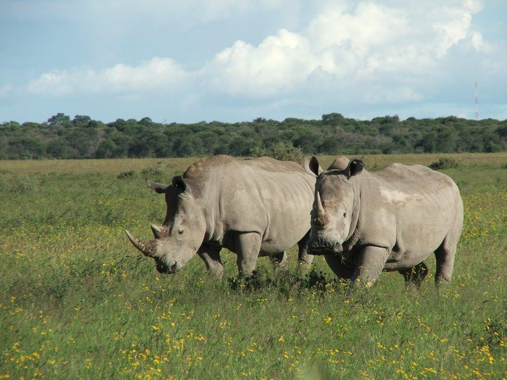 Sudan death: World's last male northern white rhino passes away as
