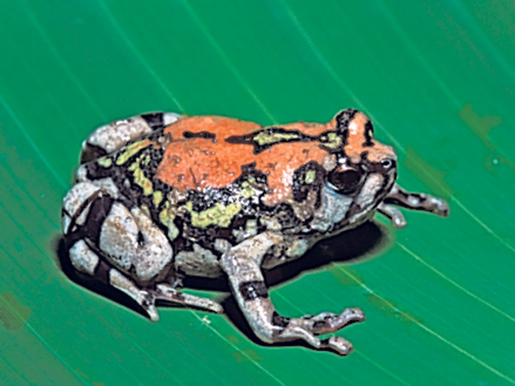 amphibians face raised extinction threat the independent