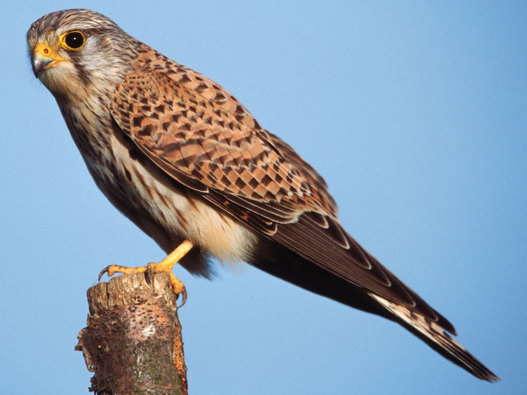 Kestrel Kestrel suspected of being Israeli spy by Turkish authorities turns