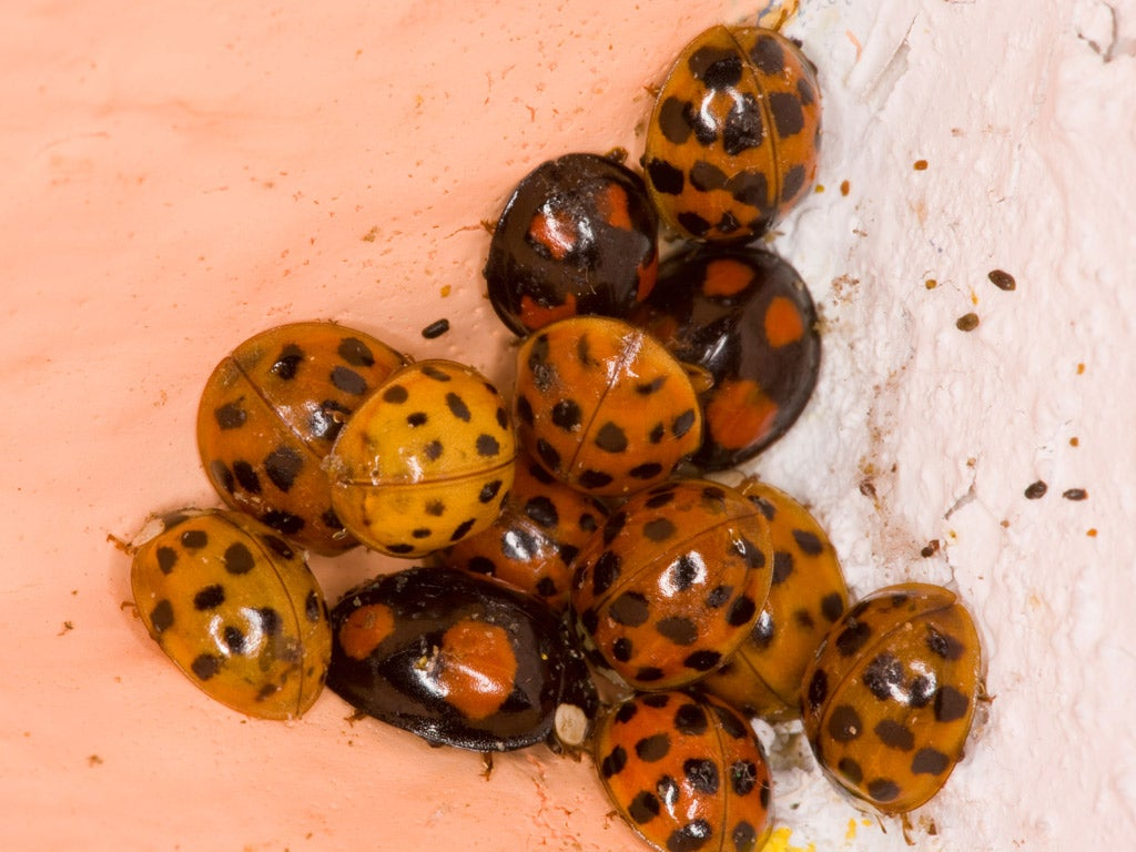 Invading cannibal ladybirds take over Britain s homes   The Independent. Invading cannibal ladybirds take over Britain s homes   The