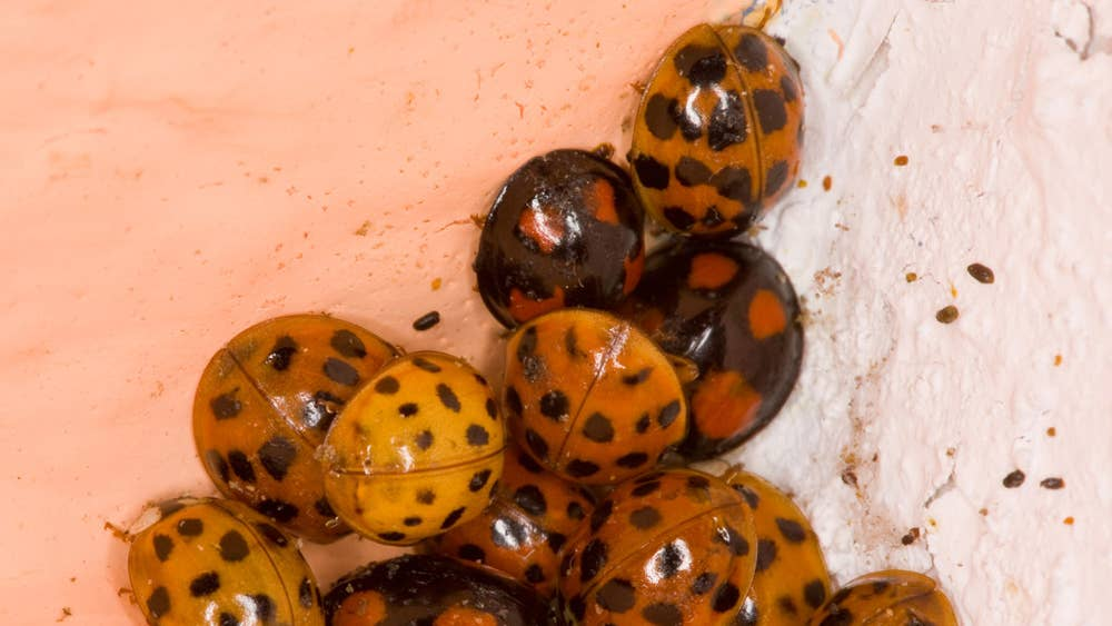 Harlequin ladybirds: Asian beetles swarming into UK homes as