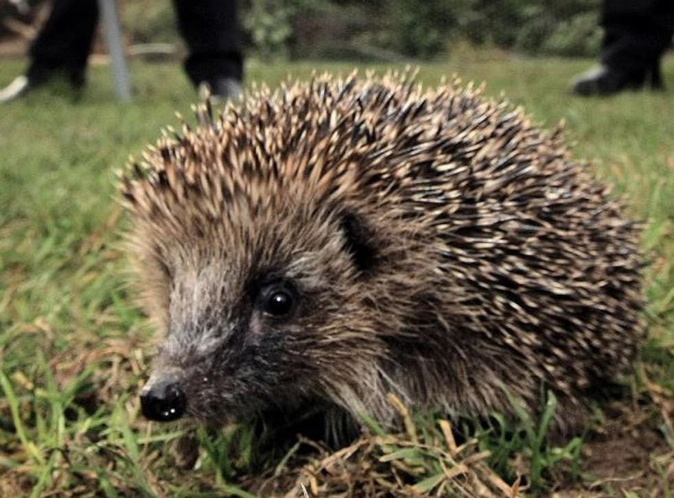 A badger's powerful front claws can uncurl the hedghog's tight ball of spines
