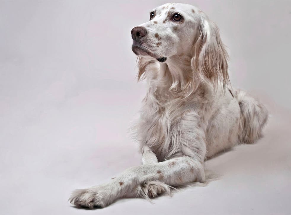 Only 234 English setters were registered with the Kennel Club last year