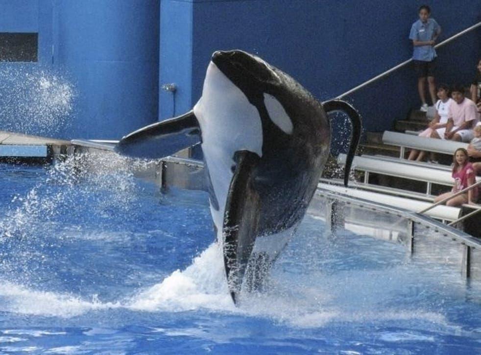 An orca performs at SeaWorld in Orlando, Florida