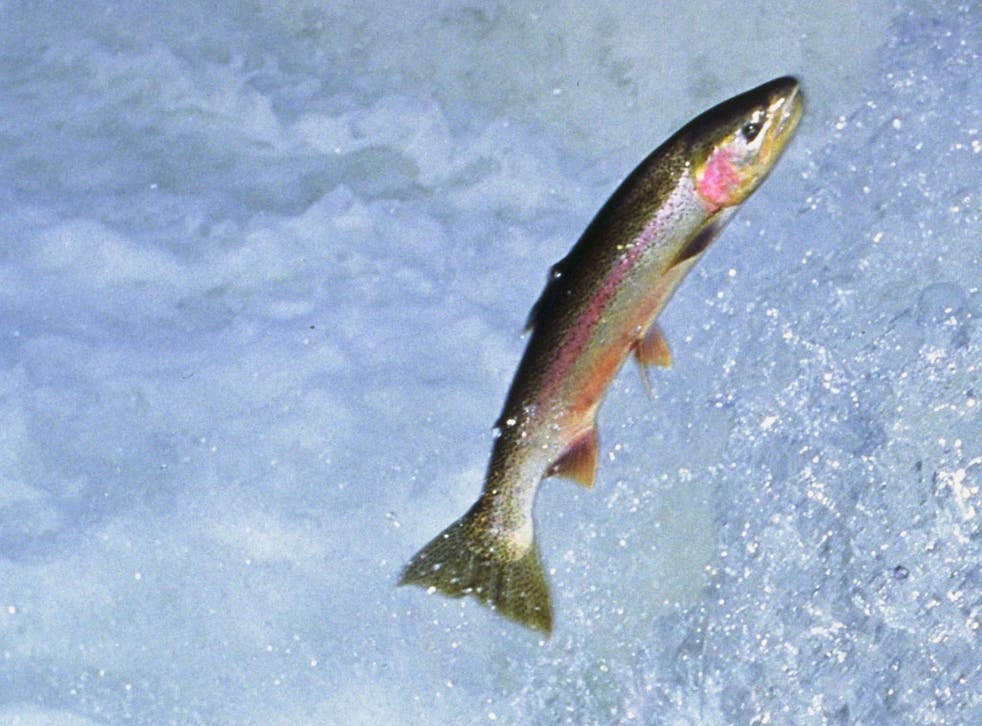 According to a new book, increasing numbers of rivers in towns and cities in Britain are now so clean that anglers are fly-fishing in them for trout and grayling, which are specialised clean-water species