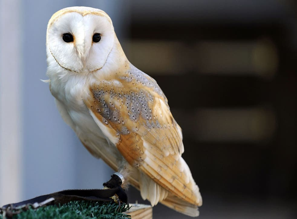 A longer dusk means you're more likely to see a barn owl. Look out after 7pm