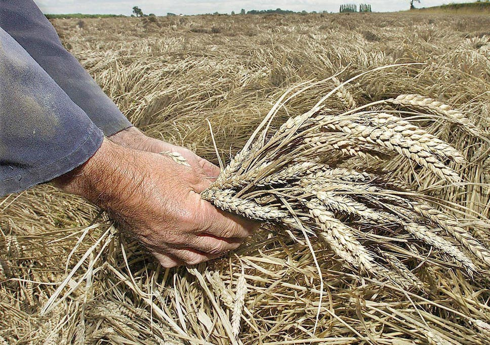 Field trial of genetically-modified wheat failed to show it