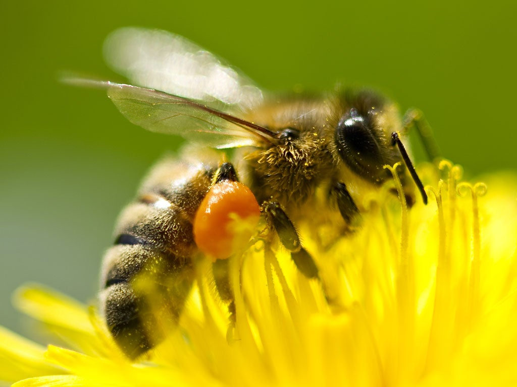 Insecticides blamed for bee decline | The Independentindependent_brand_ident_LOGOUntitled