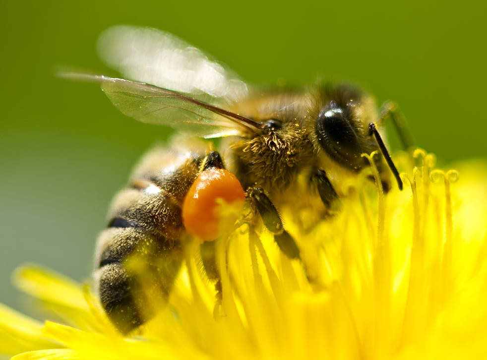 The decline of the honey bee threatens farming because it pollinates crops