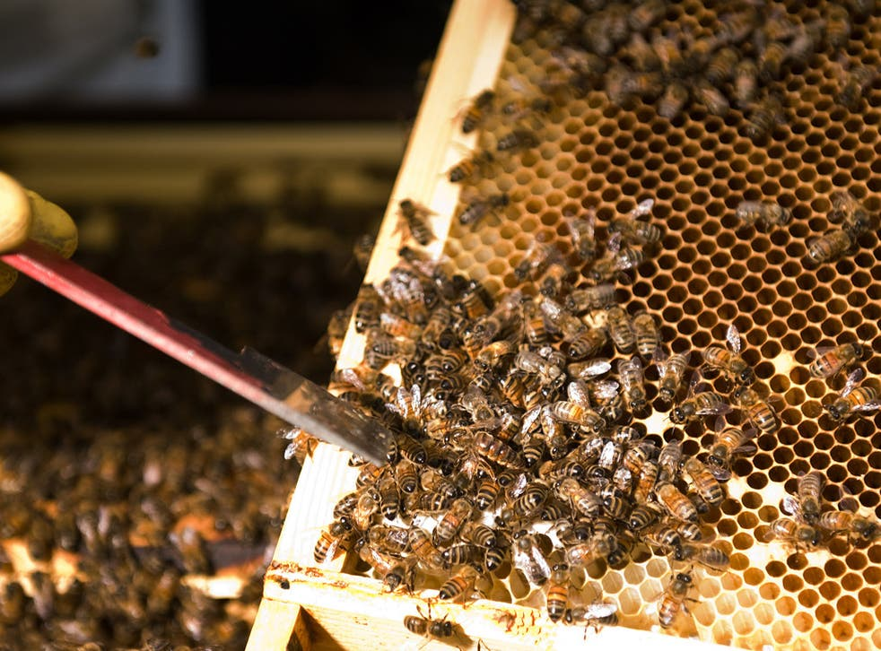 Bee populations have suffered a sharp decline in the past five years