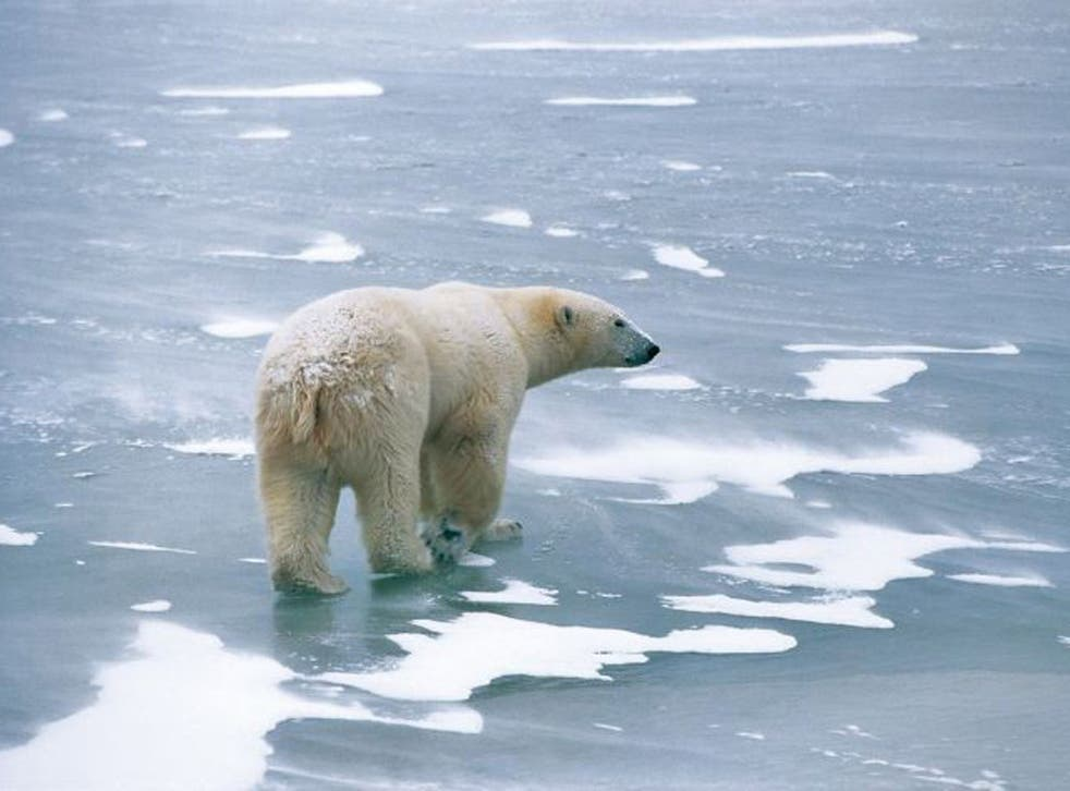 A polar bear surrounded by melting ice in the Arctic