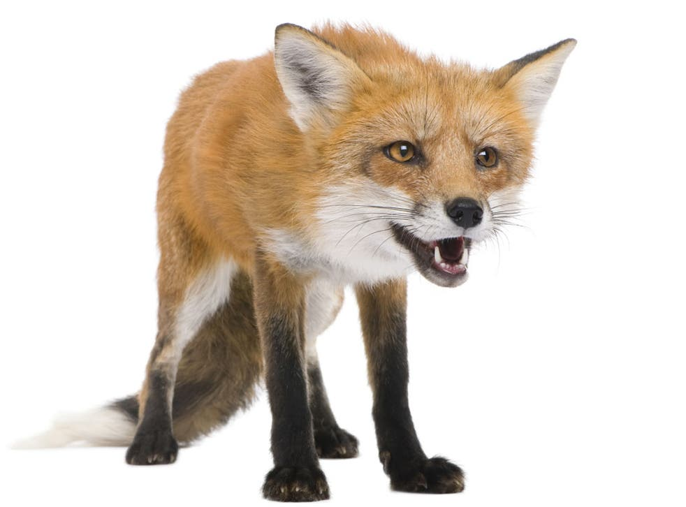 ROADKILL: Up to 100,000 foxes are killed by British drivers annually