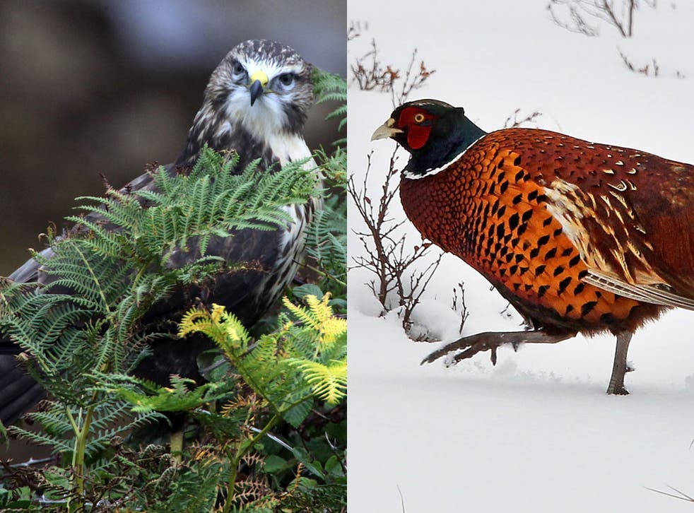 The buzzard (left) and the pheasant