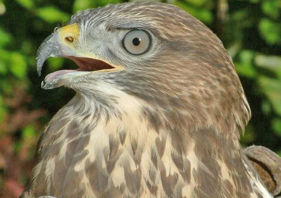 buzzard shooting licence issued to landowner sparking fears hen