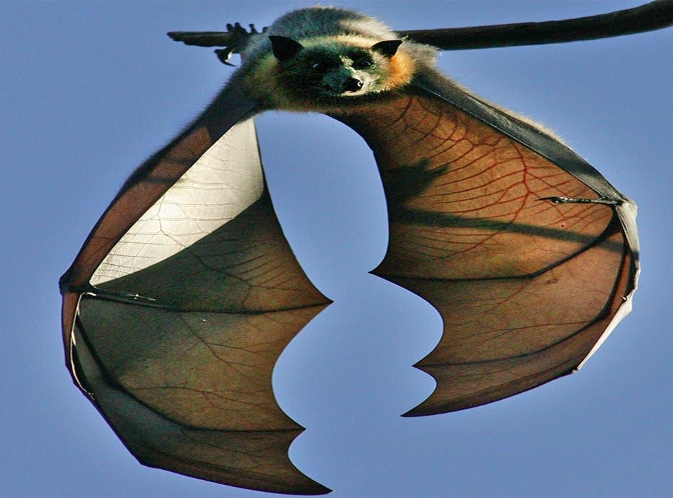The bats' coastal habitat has been destroyed by urban development