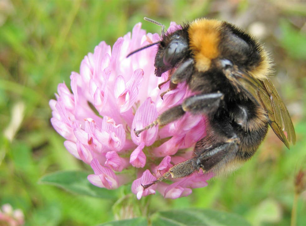 Bee populations have declined dramatically in recent decades