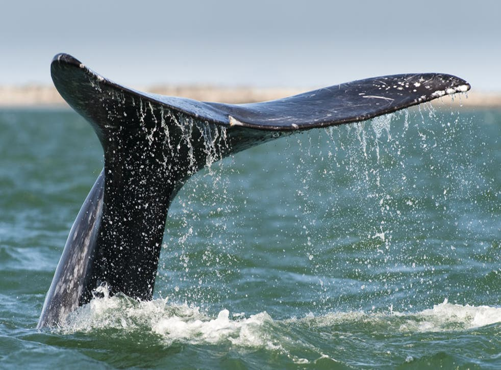Conservationists have reacted angrily to the launch of a beer made using whale meat