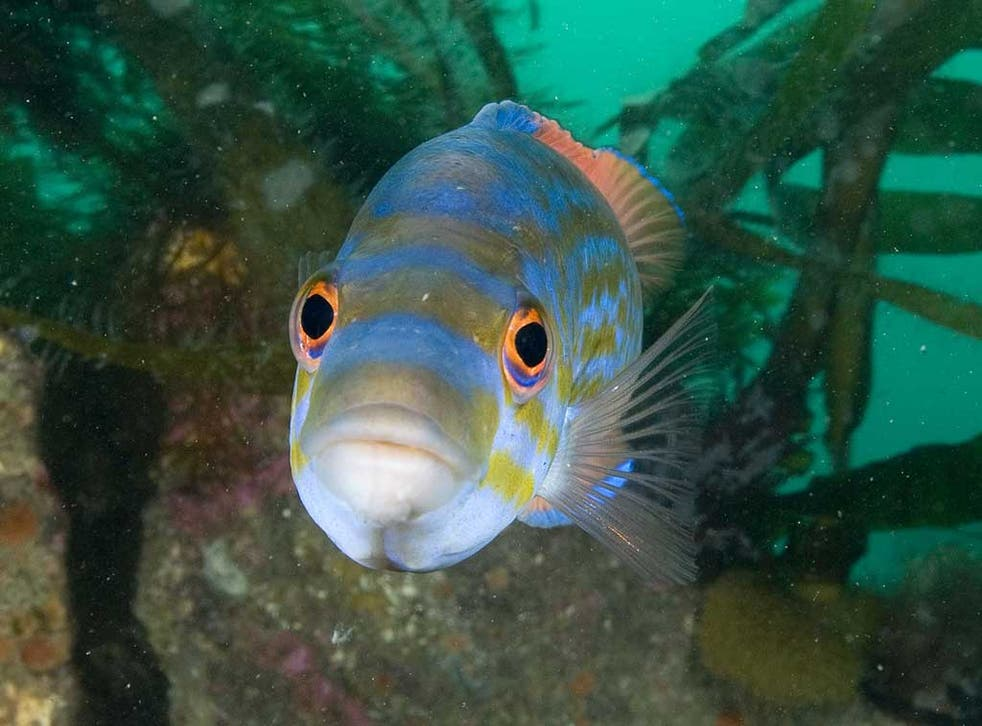 Among the fish species at risk is the colourful cuckoo wrasse