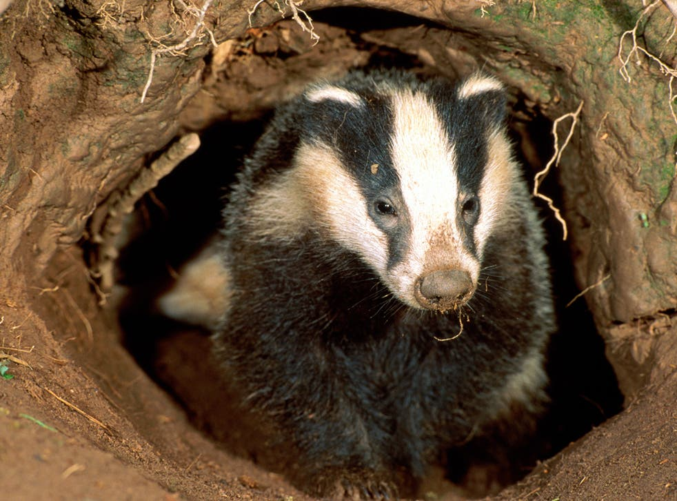 The block cull will destroy thousands of badgers
