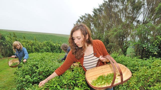 Tea pickers at the plantation in Cornwall