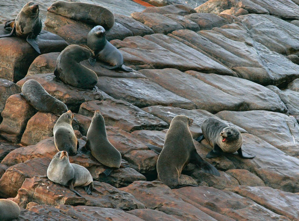 Fittest or biggest? New Zealand fur seals, above, have been picking off Kangaroo Island's fairy penguins