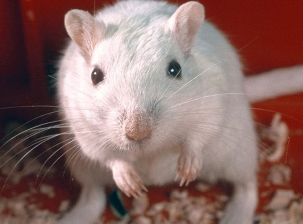 Researchers from the University of Sheffield were able to turn human embryonic stem cells into ear cells, which were then transplanted into the inner ear of gerbils that had been made deaf.