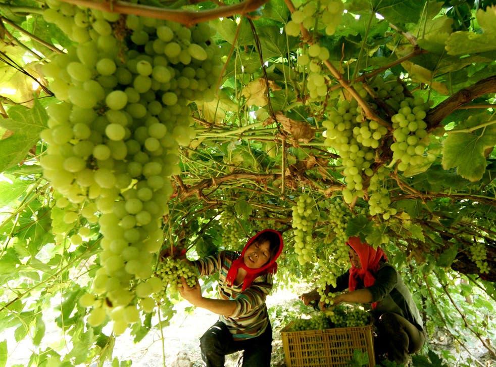 Farmers pick grapes at a vineyard in Hami, northwest China's Xinjiang region