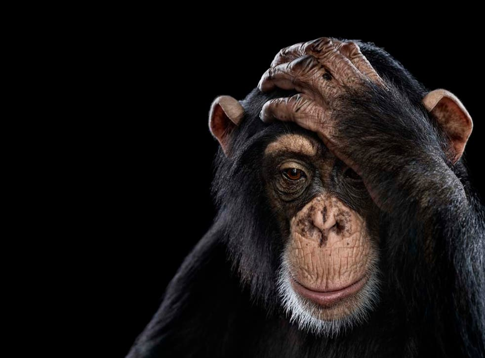 Chimpanzee portrait - part of the Affinity collection by Brad Wilson