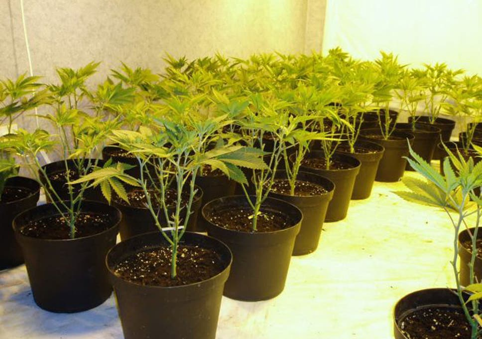 25 plants, £40,000 of income: home-grown cannabis blamed for ... on outdoor cannabis, home grow weed easy, organic grown cannabis, agent orange cannabis, growing cannabis, mutant cannabis, dried cannabis, led cannabis, say no to cannabis, drying cannabis, cheese cannabis, blue mystic cannabis, lsd cannabis, funny cannabis, indoor plants cannabis,