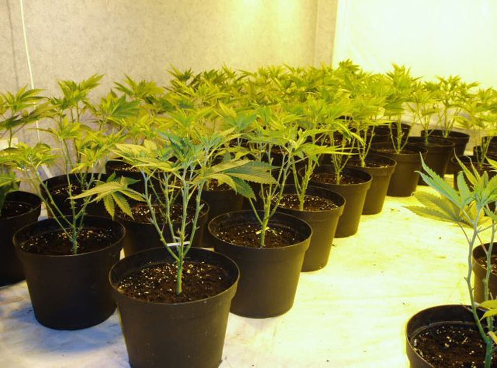 These 25 cannabis plants, seized in Merseyside police, could have generated a turnover of £40,000 a year
