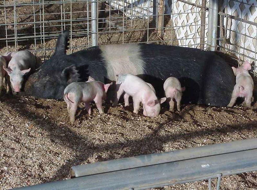 Pigs are omnivorous
