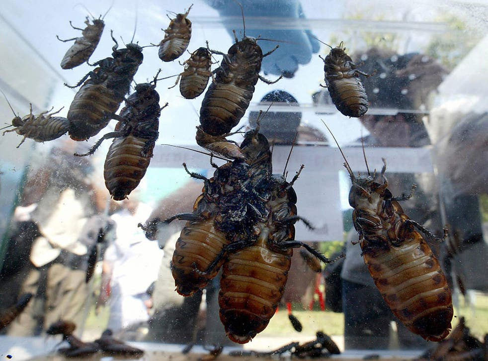Michael Adams, professor of entomology at the University of California at Riverside, said he had never heard of someone dying after eatingcockroaches..