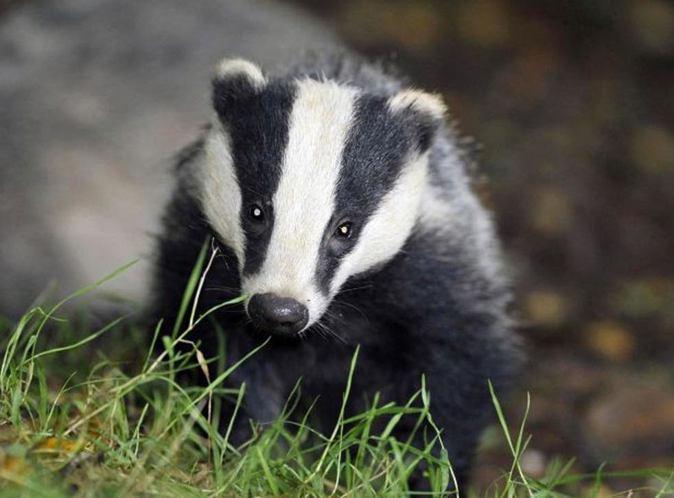 David Attenborough has outlined his opposition to a planned badger cull
