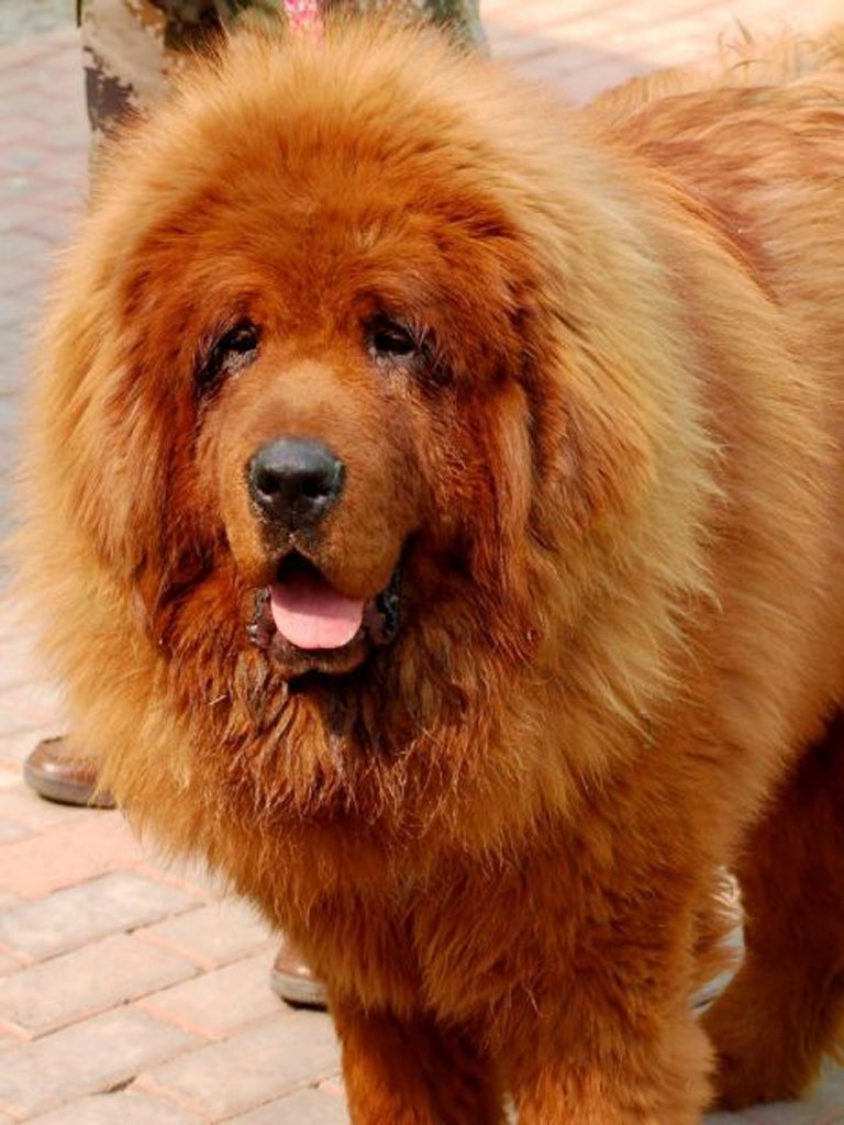 The 945 000 Red Tibetan Mastiff And The Charolais Bull Sold For 105 000 Incredibly Expensive Animals The Independent The Independent