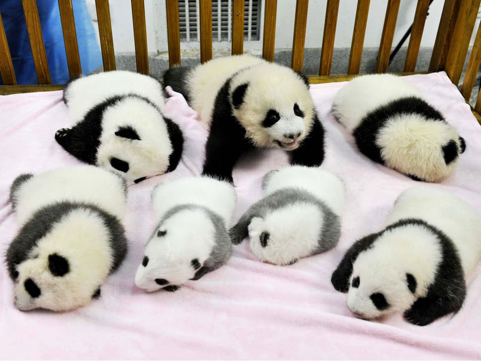 chinese conservationists celebrate birth of seven baby pandas the