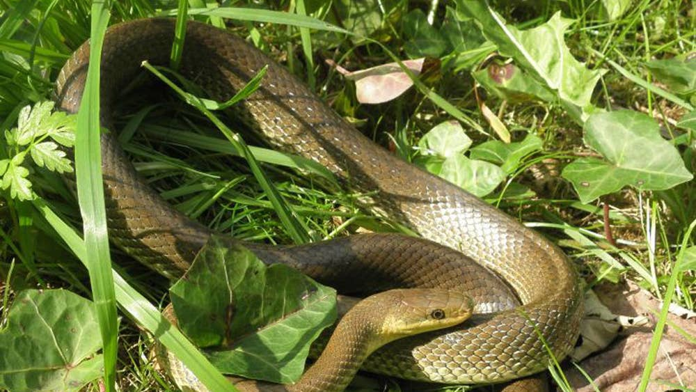 snakes in a park and other unlikely uk sights the independent