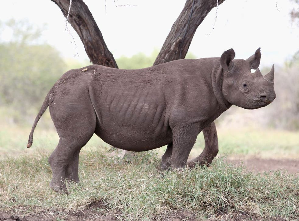 The insatiable demand for horns has sparked the worst recorded year of rhino poaching in South Africa in decades