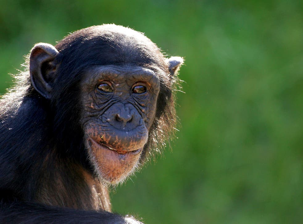 Looking glum? This young chimp faces the same emotional slump in middle age as humans