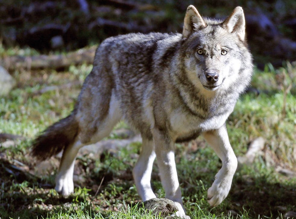 In 1990 wolves were declared a protected species in Germany